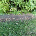 Rasenteppich unter Buchsbaum